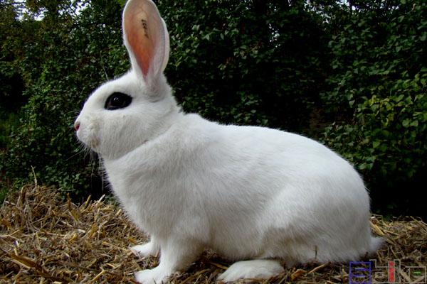 大型海棠兔