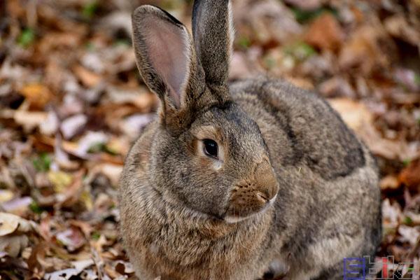 巨型花明兔