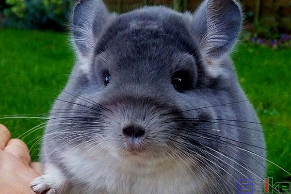 紫灰色龙猫