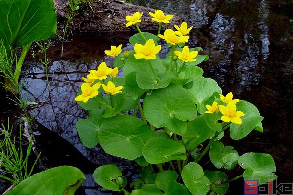 沼泽金盏花