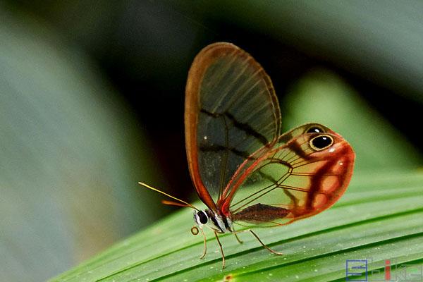 玫瑰绡眼蝶