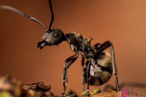 汤普森多刺蚁