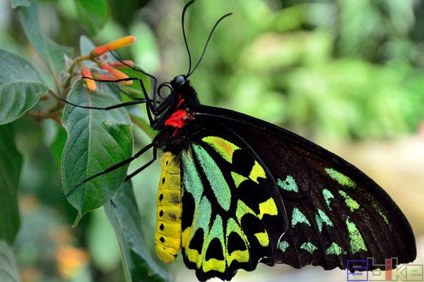 亚历山大鸟翼蝶
