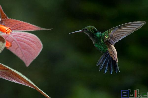 多巴哥蜂鸟