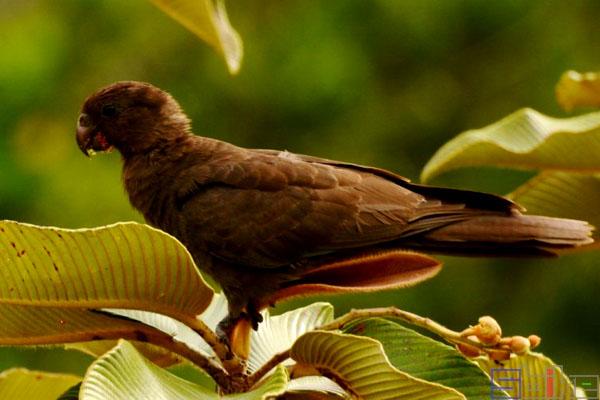 非洲黑鹦鹉