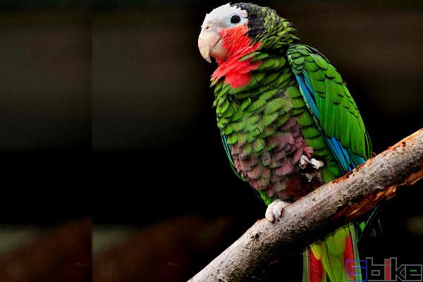 古巴亚马逊鹦鹉