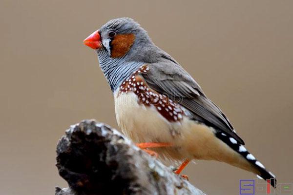 金山珍珠鸟