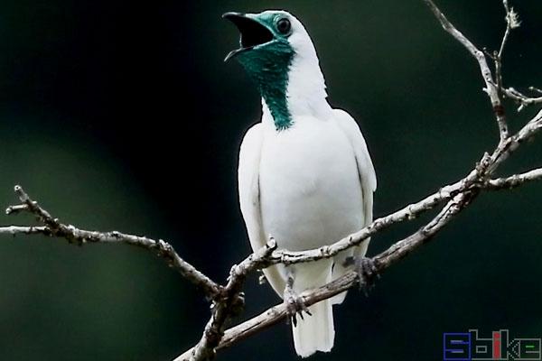 裸喉钟伞鸟