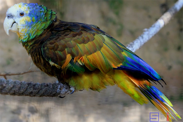 圣文森亚马逊鹦鹉