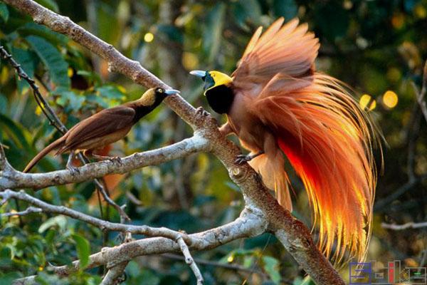 新几内亚极乐鸟