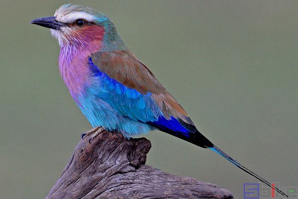 紫胸佛法僧