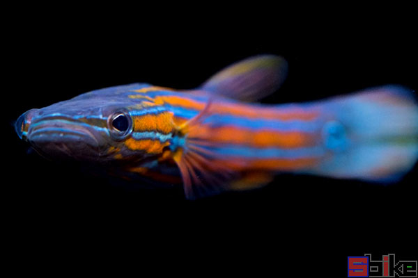 扁平头鲈鱼