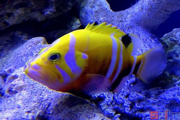 海王星石斑鱼