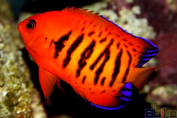 橘红新娘神仙鱼