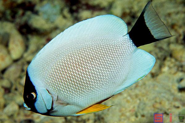 面具神仙鱼