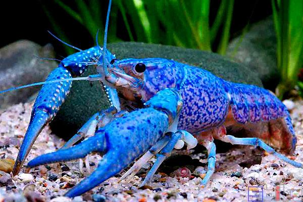 佛罗里达蓝鳌虾