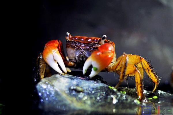 红鳌相手蟹