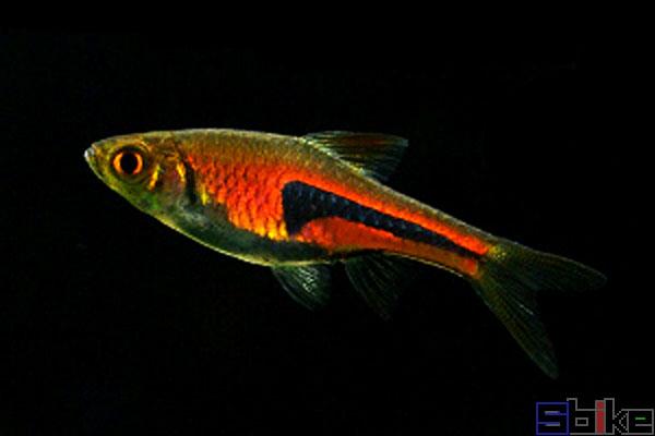 金三角灯鱼