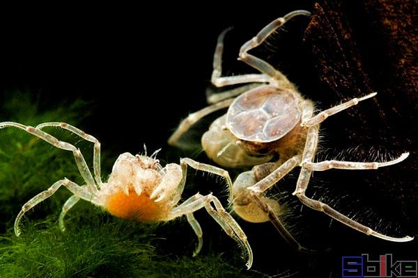 迷你蜘蛛蟹