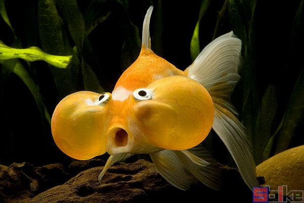 水泡眼金鱼