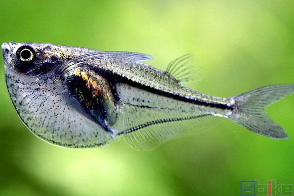 月光燕子鱼